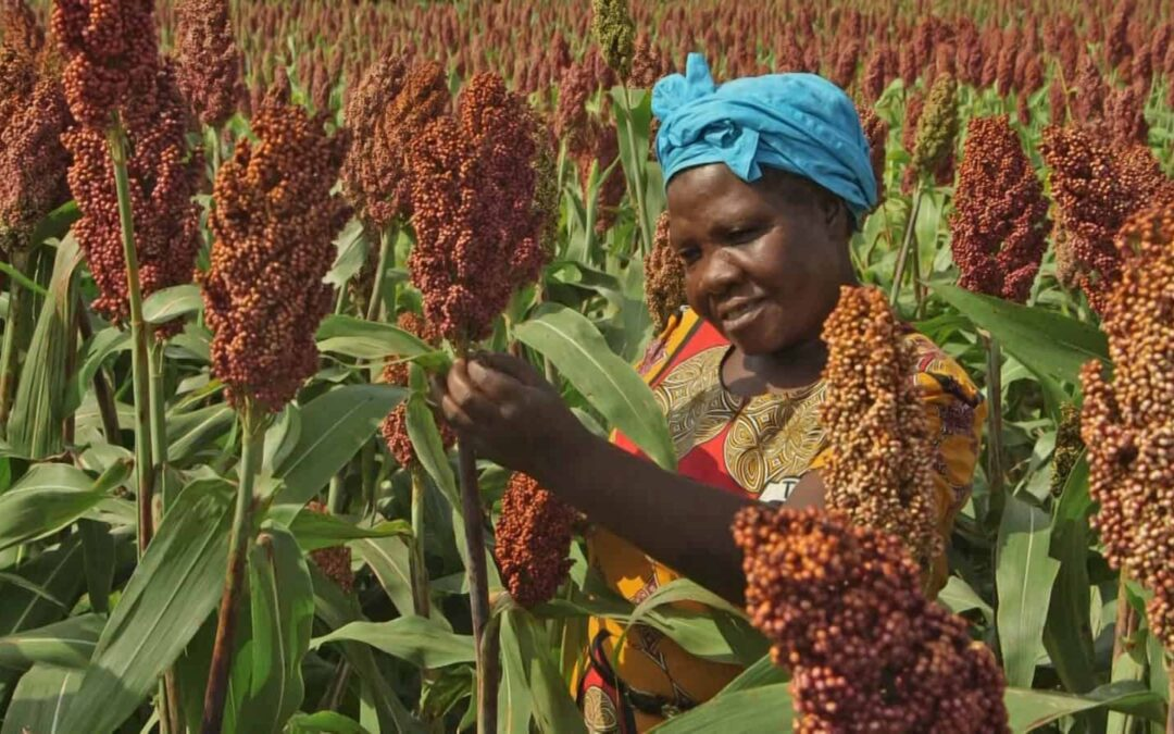 Demand for Himalayan Millet has increased across Europe . Here's why