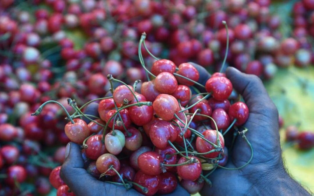 Go Air will fly out Himalayan perishable harvest from Kashmir