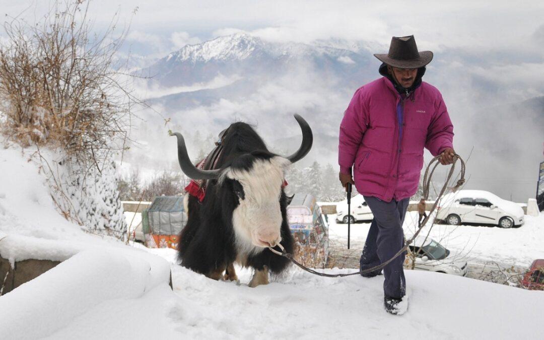 Finally, Himalayan Yaks to be insured